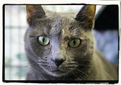 Iris - DSH - Dilute Calico - Can't get enough of people!  She rolls on her back for belly rubs!