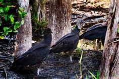 Everglades Turkey Vultures