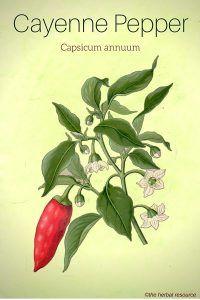 Cayenne Pepper (Capsicum annum)