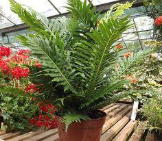 Buy Blechnum gibbum online plants, Blechnum gibbum for sale purchase mail order