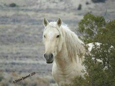 Stallion Bobby. Sand Wash Basin HMA Colorado. Photo by Christine Beaumont.