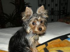 Am I in trouble?? Yorkshire Terrier