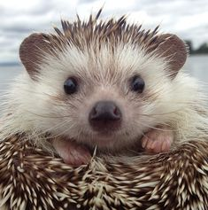 Biddy the hedgehog.  How can you not love this face!
