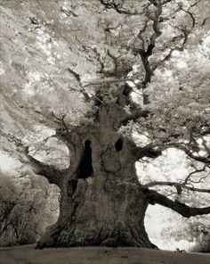 Árvores Ancestrais (16)