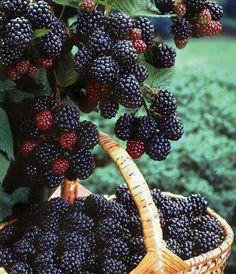 OMG! Luscious BLACKBERRIES!