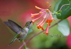 Hummingbirds love honeysuckle! Try Coral Honeysuckle (Lonicera sempervirens) shown here in a photo by Birds & Blooms reader Ted Ellis.