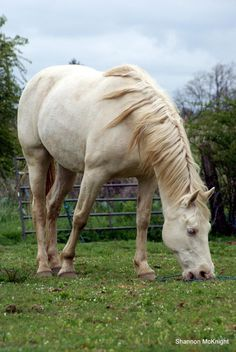 Cremello Stallion - Apacheblu Ranch