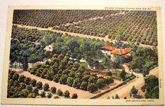 Vintage Florida Orange Groves Postcard