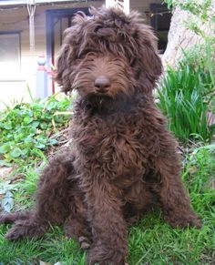 Labradoodle - want my pups hair cut like this Chocolate Goldendoodle, Australian Labradoodle, Miniature Labradoodle, Terrier Airedale, I Love Dogs, Cute Dogs, Cutest Small Dog Breeds, Doodle Dog, Dogs