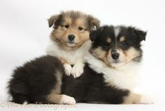 Two Rough Collie Pupiess,- 7 weeks old