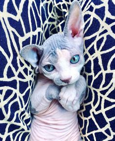 These Sphynx Babies Will Instantly Melt Your Heart - World's largest collection of cat memes and other animals Pretty Cats, Beautiful Cats, Animals Beautiful, I Love Cats, Crazy Cats, Cute Cats, Cute Hairless Cat, Gatos Cats, Photo Chat