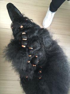 #poodle #hairstyle #standardpoodle #lucrezia #blackstandardpoodle #pudel #kralovskypudel
