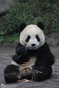 cute panda #animal