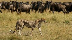 Witness the great wildebeest migration! For sheer weight of number and species of animals, the Masai Mara Game Reserve is one of the world's best safari experiences.