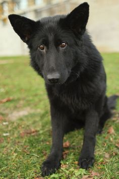 A black German Shepherd with Wolf. My new favorite dog breed, I So WANT ONE!