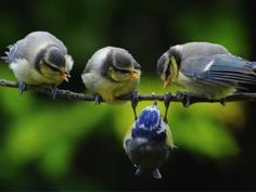 The three grey birds are looking at the blue bird like something's wrong with him.