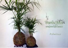 Kokedama Palmito  Consultas: eve@verdejade.com  www.VerdeJade.com