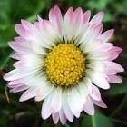 bellis perennis - Google Search