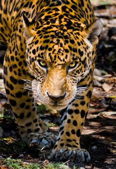 Jaguar (Panthera Onca) - Near Threatened Beautiful Cats, Animals Beautiful, Stunningly Beautiful, Big Cats, Cool Cats, Animals And Pets, Cute Animals, Nature Animals, Wild Animals