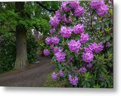 In Rhododendron Woods 29 Metal Print by Jenny Rainbow. All metal prints are professionally printed, packaged, and shipped within 3 - 4 business days and delivered ready-to-hang on your wall. Choose from multiple sizes and mounting options. All Flowers, Beautiful Flowers, Any Images, Fine Art Photography, Home Art, Fine Art America, Woods, Framed Prints, Rainbow