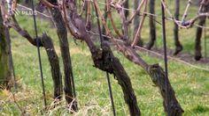 V průběhu března a když už skončí mrazíky je čas řezu vinohradů. A tak si v této reportáži předvedeme všeobecně platné zásady řezu a přidáme krátké vysvětlení, proč to vlastně máme dělat. Podívejte se, ať pak máte krásnou sklizeň.