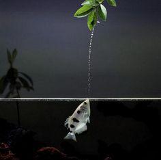В пресных водах Юго-Восточной Азии, у берегов Индийского и прилегающей части Тихого океана встречается рыба, которую называют стрелком или брызгуном. Брызгун одинаково хорошо видит как в водной, та…