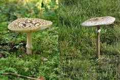 Ukonsieni vai ruskokärpässieni? | Suomen Luonto