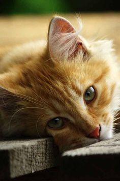 Gato me encanta la mirada de ellos la de los tigres y leosnes.....