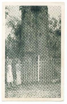 Postcard Oldest Cypress Tree US Sanford Orlando Florida Unused