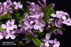 SWEET:  Daphne genkwa (Hackenberry group - LIlac Daphne).  Deciduous shrub, 3 foot. sun to shade, lilac flowers, light scent.  Planted in North facing bed along house in shade.