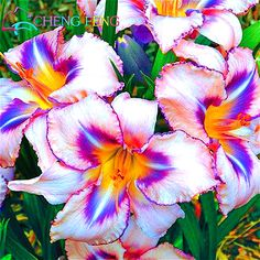 100pcs/pack 2016 Genuine Hemerocallis Seeds Flower Bonsai Plants Japanese Garden Rare Giant Lily Flowers Seeds Pot Planter Gift #clothing,#shoes,#jewelry,#women,#men,#hats,#watches,#belts,#fashion,#style