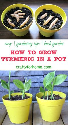 Garden Planning - The easiest and simple way how to grow turmeric in a pot at home garden and get more fresh turmeric for free. Grow turmeric in the container if you have limited space for the garden. Diy Garden, Fruit Garden, Garden Beds, Garden Plants, Pot Plants, Garden Care, Garden Tools, Home And Garden, Grow Turmeric