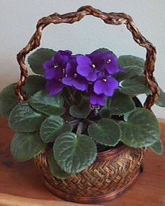 African Violets - my grandmother loved these!