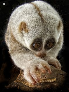 Slow Loris,hunted for use in traditional Asian medicine and are threatened by habitat loss due to logging. The slow loris' endangered status varies by country, but the International Union for Conservation of Nature lists most populations as declining.