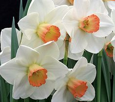 Narcissus Fragrant Rose  The beauty of this flower is in its peachy pink, goblet-shaped cup and its exceptional fragrance, which reminds some folks of old garden Roses. Another fine Daffodil from Ireland's Brian Duncan. Midseason.