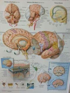 Schoolplaat biologie anatomie hersenen