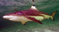 Carcharhinus melanopterus (Blacktip Reef Shark), Photo Credit: FishWise Professional/Alan Townsend, http://eol.org/data_objects/11753363