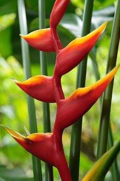 Heleconia Tropical flower. You will see these all over #Cabarete. #cpbc