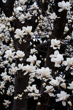 Photograph 白木蓮/white magnolia by hueBlueBlue on 500px