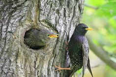 Common starling at the nest