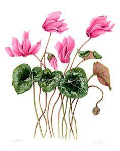 Cyclamen (Cyclamen persicum)  watercolor on paper by Margaret Best