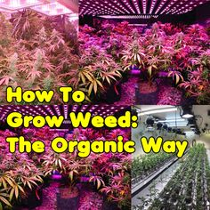 How To Grow Weed: The Organic Way