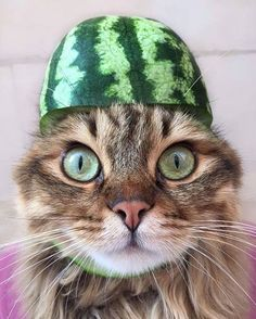 Are you excited for National Watermelon Day? Has your cat ever tasted watermelon? Are you excited for National Watermelon Day? Has your cat ever tasted watermelon? Cute Baby Animals, Animals And Pets, Funny Animals, Pet Shop Online, Kinds Of Cats, Cute Eyes, Wild Dogs, Beautiful Cats, Cat Love