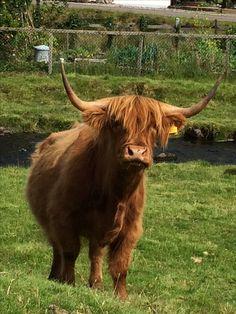 Plockton highland cow