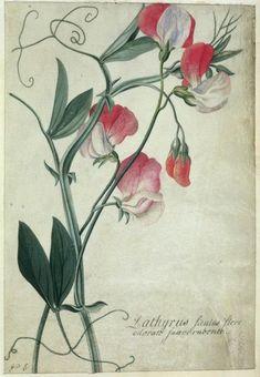 Georg Dionysius Ehret (German, 1708-1770). Plate of Lathyrus (sweet peas).