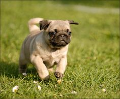 My girlfriend of birth Pug by Michal Horák on 500px