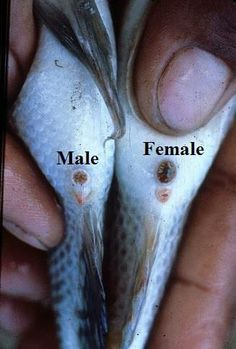 If you raise Talapia, this is good to know