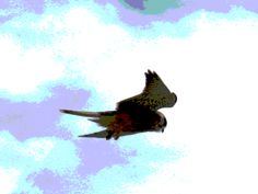 Kestrel with image effects.