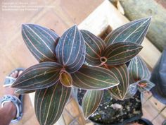 Haemaria discolor - jewel orchid. Might still be known as Ludisia discolor in the trade.