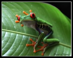 Frog in Costa Rica. Photo Credit: Chantal de Koning   - Explore the World with Travel Nerd Nici, one Country at a Time. http://TravelNerdNici.com